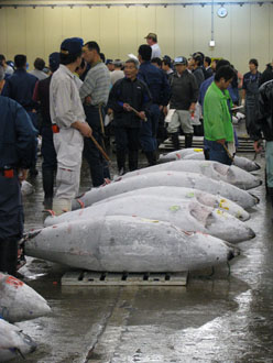 Frozen Tuna Auction at Tsukiji Fish Market in Tokyo