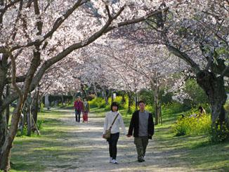 Enjoying the Cherry Blossoms