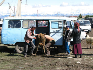 Stuffing a Cow in a Van - Karakol Sunday Animal Market