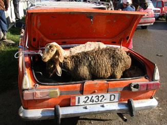 Sheep in the Trunk - Karakol Sunday Animal Market