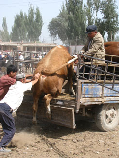 Get In There - Kashgar Sunday Animal Market