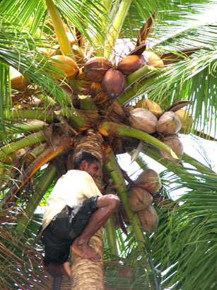 It is About to Rain Coconuts