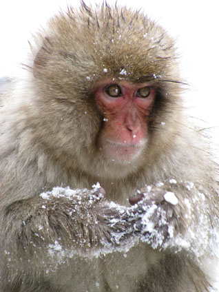 Snow Monkey at Jigokudani