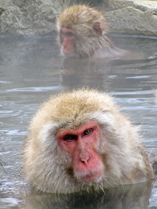 Snow Monkeys at Jigokudani