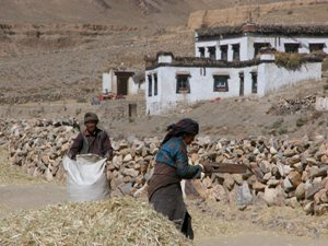 Road to Shegar, Tibet - Separating the Grain