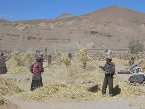 Road to Shegar, Tibet - Working with the Hay