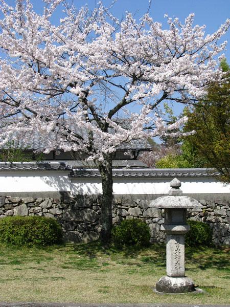 Cherry Blossoms at Lake Biwa, Japan