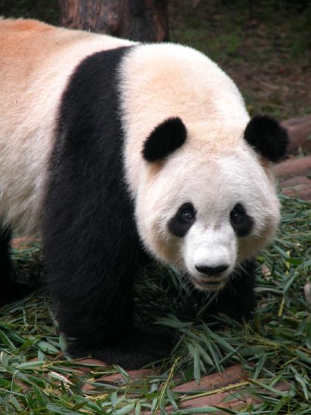 Giant Panda of Chengdu, China