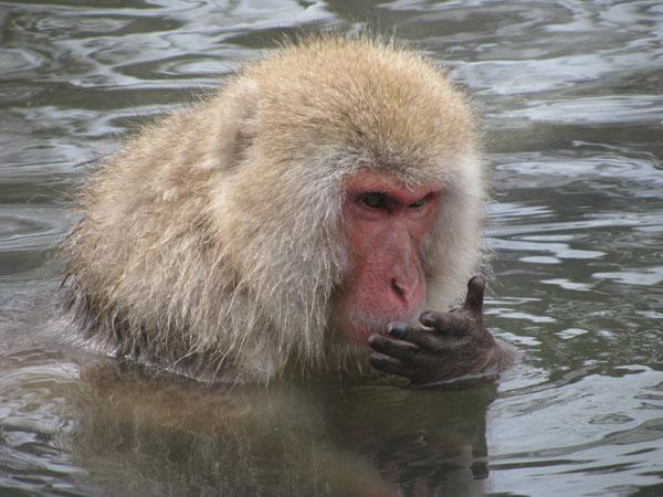 Snow Monkey at Jigokudani, Japan