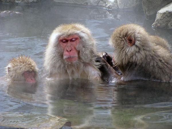 Snow Monkeys at Jigokudani, Japan