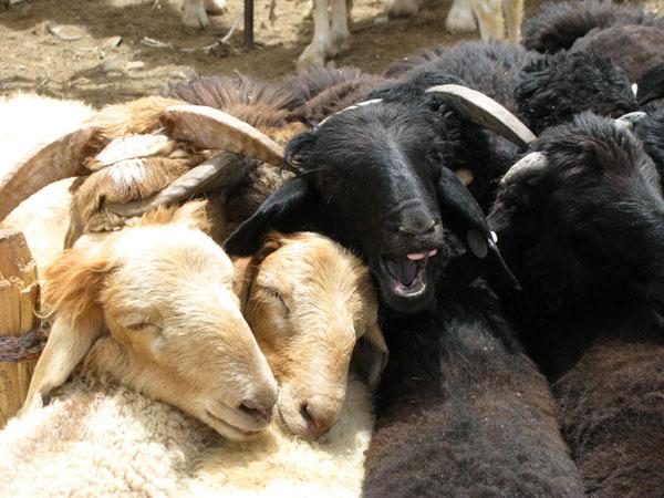 Kashgar, China - Sunday Livestock Market