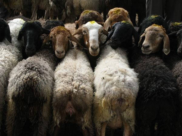 Kashgar, China - Fat-Tailed Sheep at Sunday Market