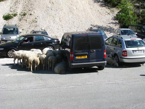 Sheep Seeking Shade in Slovenia