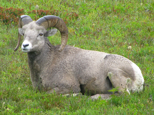Montana - Bighorn Sheep in Glacier National Park