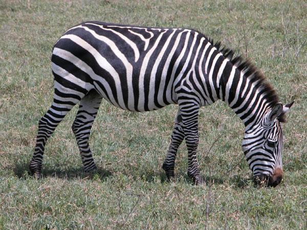 Zebra in Ngorongoro Crater - Tanzania, Africa