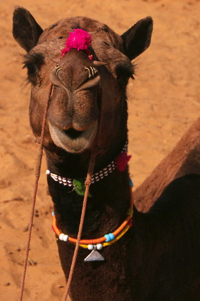 What Are You Looking At? Pushkar Camel Fair in India