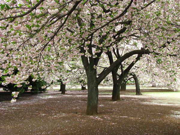 Cherry Blossoms in Shinjuku Gyoen - Tokyo, Japan