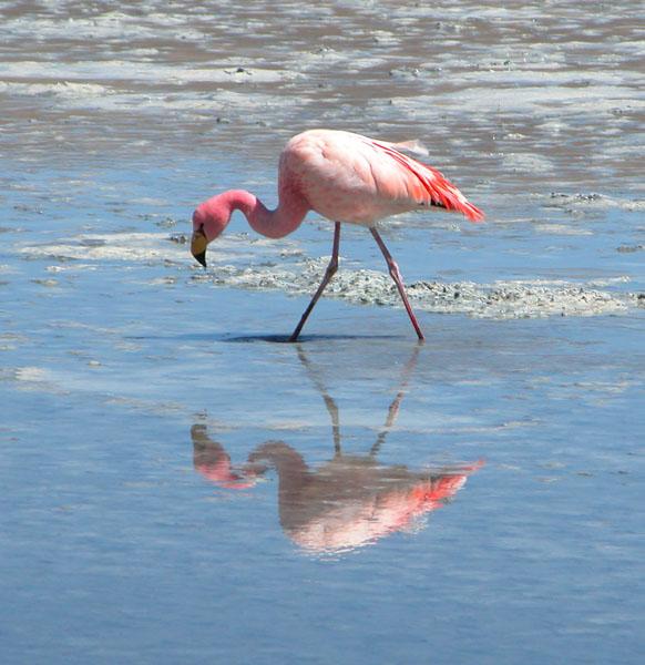 Bolivian Flamingo