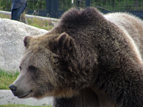 West Yellowstone, Montana - Grizzly Bear at Wolf and Grizzly Discovery Center